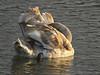 Knobbelzwaan - Hoek van Holland (mariandeneijs) Tags: cygnusolor zwaan knobbelzwaan hoekvanholland