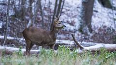 .. (jesscser) Tags: natural deer chevrette cervidé neige oise affût chevreuil nikon d500 sigma 150600 contemporary