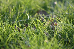 'Grass (macro)' (kirstyphotography) Tags: nature outdoor serene landscape wildlife forest field plant tree rocks grass green photography canon canon1000d 1000d bulbs flowers macro shoot spring summer sun detail