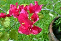 WOL Calauan Laguna Philippines Day 7 (86) (Beadmanhere) Tags: philippines flowers