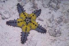 Pentaceraster starfish (BJSmit) Tags: pentaceraster starfish philippines scuba diving echinoderm