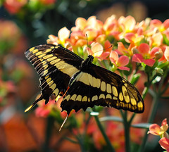 Butterfly (LuckyMeyer) Tags: black yellow orange makro butterfly schmetterling flower fleur plant