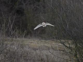 Barn Owl - February dawn