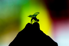 Grabbing The Silhouette (Mark Pilar) Tags: philippines travel bulacan pi d3200 photography various lovely peace homeland nikon life live enjoy edit shadow dragonfly saturation colors silhouette photo hang grab wings culture vacation nature paradie breathe macro insect
