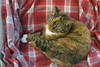 Gracie 9 February 2018 8482Ri 4x6 (edgarandron - Busy!) Tags: cat cats kitty kitties tabby tabbies cute feline gracie patchedtabby