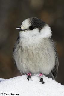 Gray Jay (Perisoreus canadensis) in the Snow - Algonquin Provincial Park, Ontario