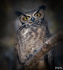 The Great Horned Owl (Don's Photostream) Tags: eyes owl feather stare