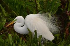 GREAT EGRET (concep1941) Tags: birds herons heronfamily shallowwaters grassymarshes sandbars watersides breedingseason