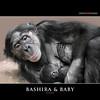 BASHIRA & BABY (Matthias Besant) Tags: affe affen affenfell animal animals ape apes pygmychimpanzee fell zwergschimpanse hominidae hominoidea mammal mammals menschenaffen menschenartig menschenartige monkey monkeys primat primaten saeugetier saeugetiere tier tiere trockennasenaffe bonobo schauen blick blicken augen eyes look looking baby bashira bonobobaby child kind zoo zoofrankfurt matthiasbesant stillen hessen deutschland