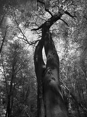 Tree at Castle Rock (TPStearns) Tags: infrared blackandwhite bw monochrome tree flickrunitedaward blackwhitepassionaward