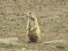 Badlands National Park (Give-on) Tags: america usa southdakota badlandsnationalpark nationalpark prairiedog wildlife nature cute drive roadtrip summer 2017