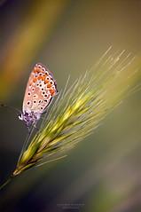 borealis (2) (swaily ◘ Claudio Parente) Tags: farfalla