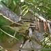 Tytler's Leaf Warbler (Phylloscopus tytleri)