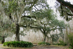 Oak trees tower over the benches below (Monceau) Tags: fairviewriversidestatepark madisonville louisiana oak trees spanishmoss benches underneath towering highabove high odc