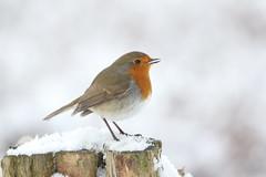 Winter Robin / explored (bilska.anna) Tags: