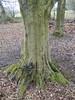 Common Hornbeam trunk (Baractus) Tags: common hornbeam john oates trust nature reserve wildlife earlswood moathouse nr warwickshire uk