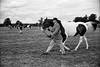 Huaxia 841 - Lucky SHD 100 (2) (meniscuslens) Tags: huaxia chinese rangefinder lucky shd vintage film camera bw bnw mono monochrome horse bucks county show aylesbury field paddock sky