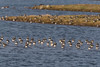 Golden Plover, and many Lapwings. (Sd_neo) Tags: goldenplover lapwing leightonmoss silverdale england unitedkingdom gb