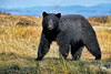 Who Are You (PamsWildImages) Tags: blackbear nature naturephotographer wildlife wildlifephotographer canada canon bc britishcolumbia beautiful pamswildimages pammullins