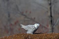 DSC_9921_edit (Hanzy2012) Tags: toronto ontario canada tommythompsonpark lesliestreetspit buboscandiacus snowyowl bird wildlife owl