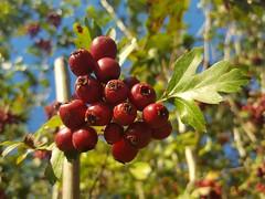Crataegus monoyna (Iggy Y) Tags: crataegusmonogyna crataegus monogyna autumn nature plant berry red color berries fruit bijeliglog glog commonhawthorn singleseededhawthorn hawthorn sunny day light