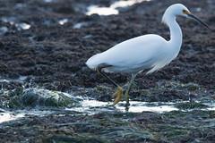 IMG_2923 (armadil) Tags: mavericks beach beaches californiabeaches bird birds egret snowyegret