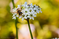 from the macro archive (Karel Warburg) Tags: canon50d sigma105mm35 bee