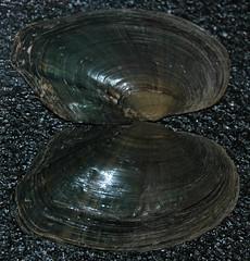 Lasmigona compressa (creek heelsplitter) 2 (James St. John) Tags: lasmigona compressa creek heelsplitter clam clams shell shells bivalve bivalves freshwater