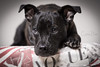 Jaz (Christina Draper) Tags: dog hound pup staff cross studio animal pet photography