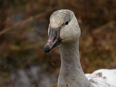 Snow Goose (snooker2009) Tags: bird goose geese snow migration winter spring fall wildlife nature