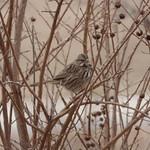 Song Sparrow, January 19, 2018 thumbnail