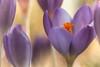 One for the team (Joe Effendi (Always Late!)) Tags: effendi fujifilm fujix xt10 closeup macro nature natuur flora flower krokus bloem crocus bokeh dof depthoffield m42 vintagelens takumar macrotakumar50mmf4 classicchrome february 2018