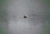 lone duck in the lagoon (axiepics) Tags: lagoon victoria colwood albertheadlagoon beach
