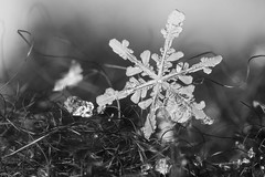 Collected Flakes, Jan 13th 2018, #2 (Doundounba) Tags: pentax k3 pentaxm135mmf35 sigma2470mmf3556 coupledreverselens macro poormansmacro ice glace snow neige flocon snowflake flake crystal water hiver winter cold froid montréal québec bw blackandwhite noiretblanc topf25