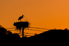 White Stork Silhouette At Sunset (www.craigrogers.photography) Tags: whitestork stork nest algarve portugal ciconiaciconia nesting electricpole silhouette serra sãomarcosdaserra saomarcosdaserra ciconiidae storks whitestorks nikon nikonnature nikon300mm d810 nikond810 wildlife nature underexpose