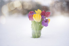 Snow Tulips... (KissThePixel) Tags: tulip tulips vase snow snowscape bokeh bokehwednesday bokehlicious macro garden cottage cottagegarden snowing winter february flora winterscene winterflora beautiful nikon nikond750 50mm f14 sigmaart stilllife