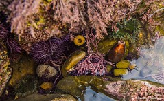 Tide pool life (Photosuze) Tags: tidepools ocean pacific animals nature wildlife anenomes urchins cowrys shells water seaweed