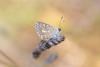Aricia sp (fabriciodo2) Tags: argusbleu papillon macro nature tamron90 polyommatusicarus