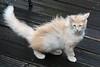 Titran's cats in the storm :-) (Titran's Norsk Skogkatt) Tags: nfo cat kitten chat chaton noor norweger norvégien waldkatze boskat titran titrans wegie norge norway