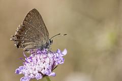 Satyrium esculi (Jaume Bobet) Tags: satyrium esculi lepidoptpera lycaenidae mariposa insecto macro bobet canon sigma