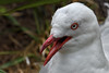 Red Billed Gull-2 (johnaalex) Tags: d850 newzealand dunedin nikonafs80400f4556g bird gull