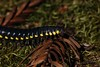Yellow-spotted Millipede (Harpaphe haydeniana) (Ron Wolf) Tags: almondscentedmillipede arthropoda cyanidemillipede diplopoda harpaphehaydeniana polydesmida windyhill xystodesmidae yellowspottedmillipede insect macro millipede nature wildlife california mrosd