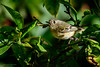 Ruby-crowned Kinglet (halladaybill) Tags: rubycrownedkinglet coronadelmar backyard insectivore kinglet seaandsageaudubonsociety california orangecounty nikond850 nikkor200500zoom bird animal