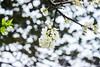 IMG_1629-2 (Haru2212) Tags: flower flora apricot winter canon nature canon450d natural naturalbeauty magic blend blossoms cây cherry sunday landscape ngoàitrời green lightroom vietnam life