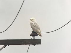 20180128 Snowy Owl (plumheadedfinch) Tags: birds strigiformes strigidae bubo buboscandiacus snowyowl pennsylvania month01january 2018