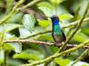 IMG_4219  Golden-tailed Sapphire_hummingbird (ashahmtl) Tags: goldentailedsapphire bird hummingbird chrysuroniaoenone copalingalodge zamora chinchipeprovince ecuador