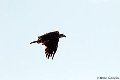 Immature Bald Eagle, Twin Lakes, California (rollie rodriguez) Tags: immaturebaldeagle twinlakes california
