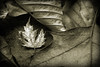 Monochrome (janetbland) Tags: beautifulrealm macromondays macro monochrome winter brown leaf leaves japanese maple oak beech connecticut canoneos