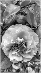 fiore d'inverno 4, winter flower 4 (Massimo Vitellino) Tags: winter flower flora hdr blackandwhite bloom macro personalperspective plant delicate petal outdoors abstract contrast conceptual garden park