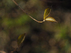 Evanescenti presenze (gaddi_luca) Tags: foglie cespuglio bokeh luceinvernale winter vintage helios 58f2 giardino
